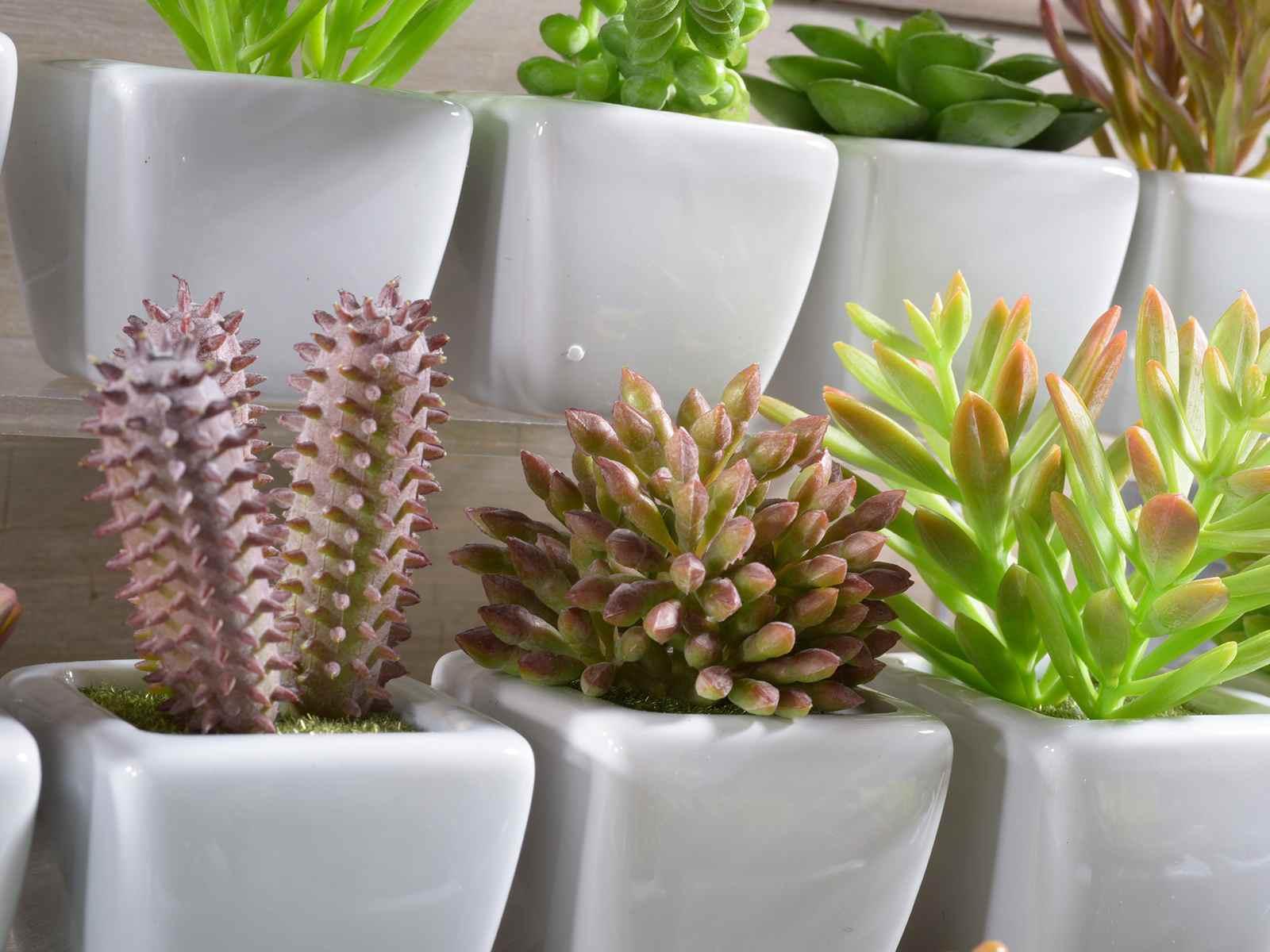 Afi eaz plante decorative suculente n ghiveci Plante decorative